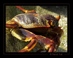 Crab enjoying the sun on the beach of a remote island - S... by Patrick Tutt 
